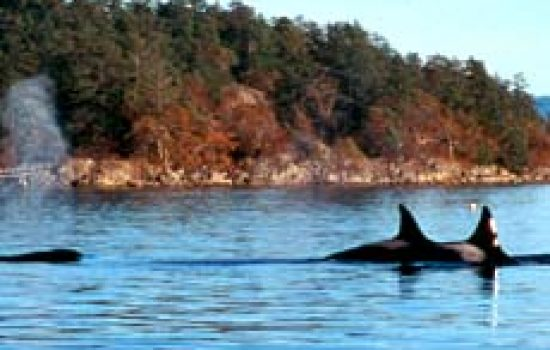 killer-whale-pod-island